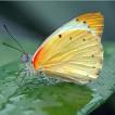 thumb_papillon